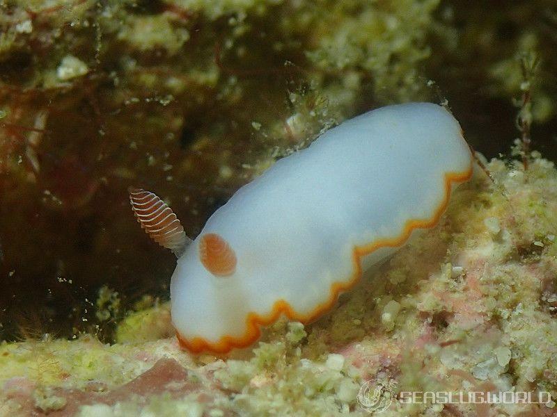 ミナミシラヒメウミウシ Goniobranchus verrieri