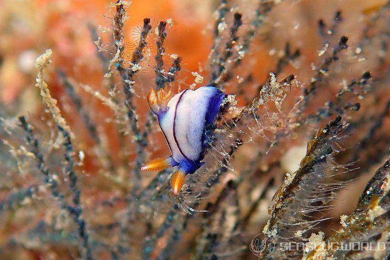 クロスジリュウグウウミウシ属の一種 5 Nembrotha sp. 5