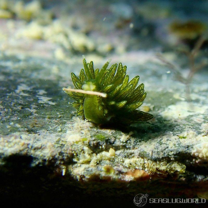 ウスミドリモウミウシ Ercolania subviridis