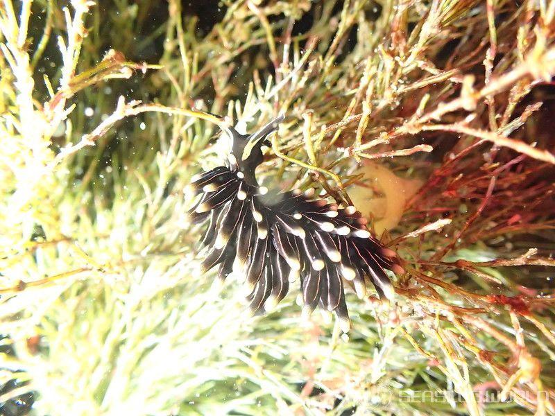 クロモウミウシ Aplysiopsis nigra