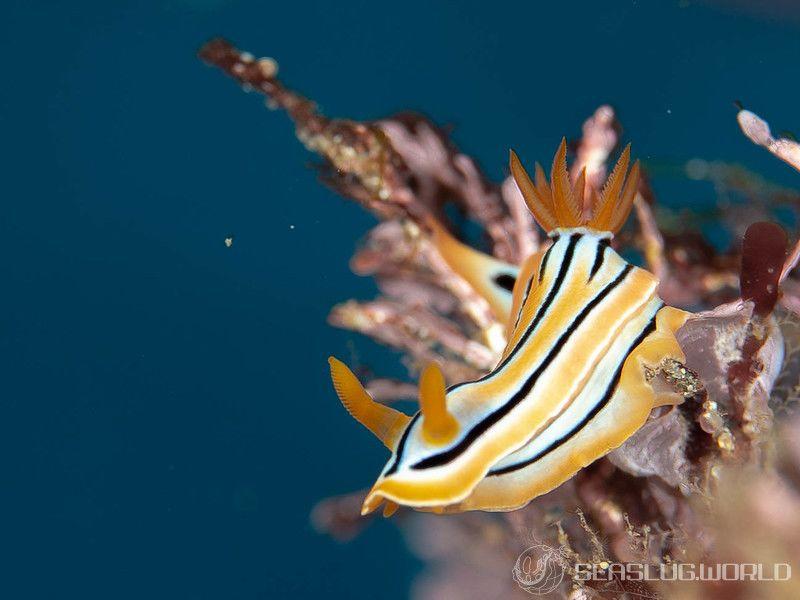 コールマンウミウシ Chromodoris colemani