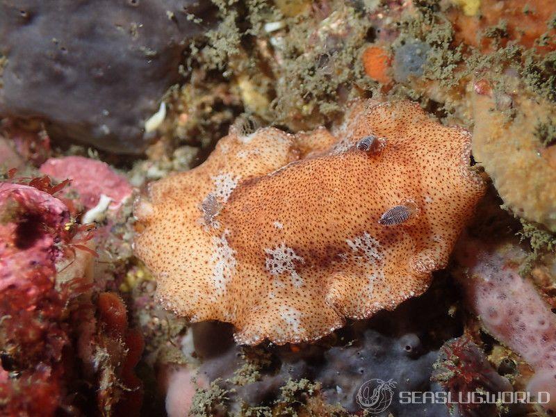 ネズミウミウシ Platydoris sp. 1