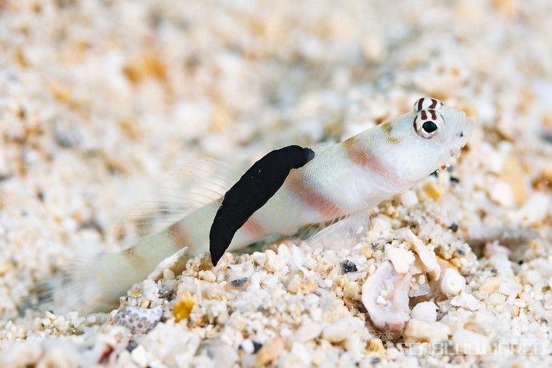 スミゾメキヌハダウミウシ Gymnodoris nigricolor
