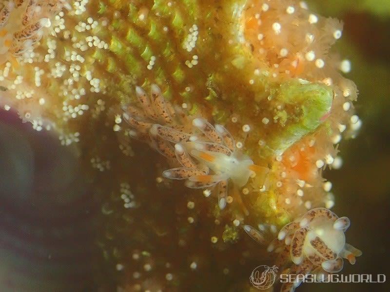 ムラサキミノウミウシ属の一種 4 Antonietta sp. 4