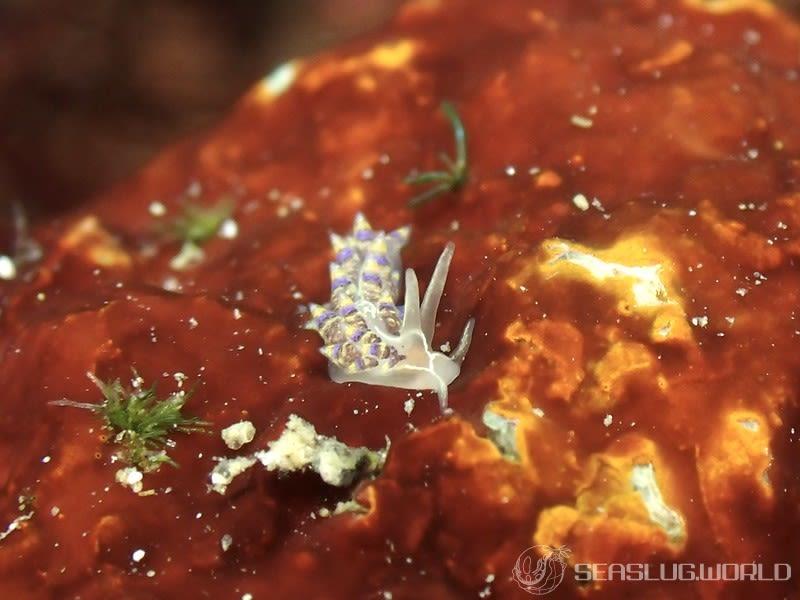 フジエラミノウミウシ属の一種 39 Trinchesia sp.39