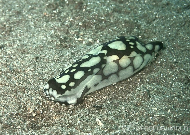 ワモンキセワタ Tubulophilinopsis pilsbryi