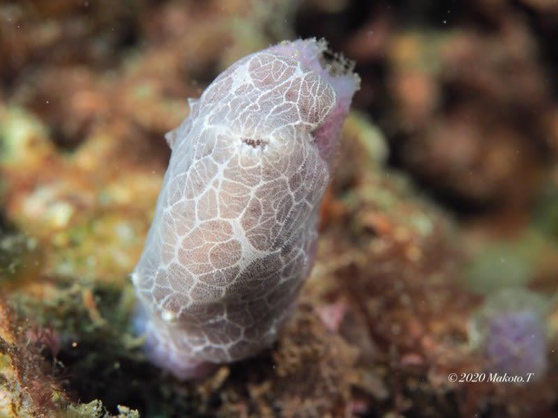 ミナミヒョウモンウミウシ Jorunna sp. 4