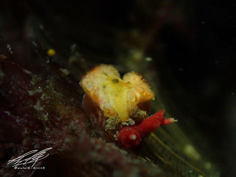 ナガムシウミウシ属の仲間 Lomanotus spp.