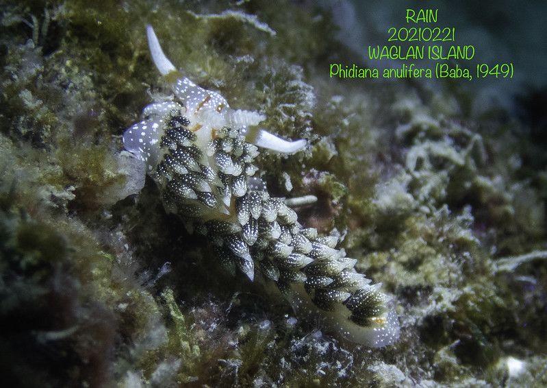 シャクジョウミノウミウシ Phidiana anulifera