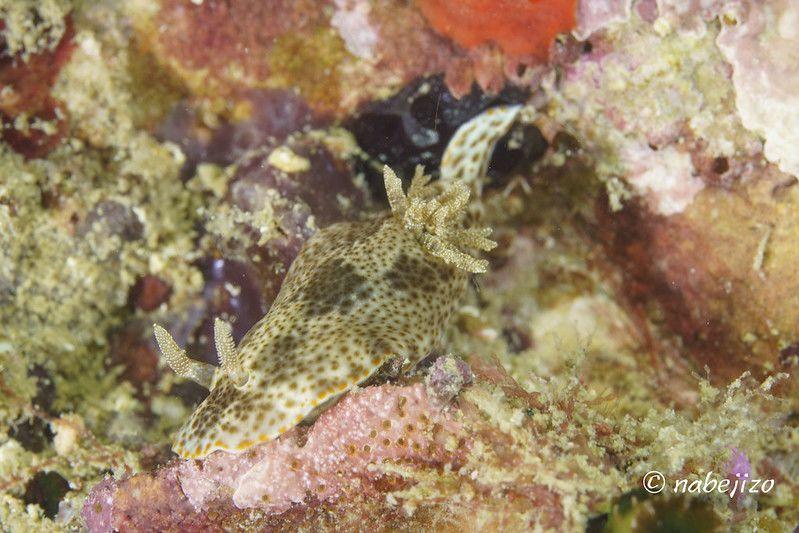 クロモドーリス・マンダパムエンシス Chromodoris mandapamensis