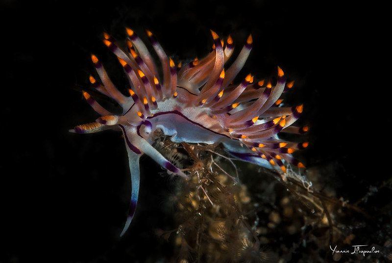 コリュフェリナ・ルブロリネアータ Coryphellina rubrolineata