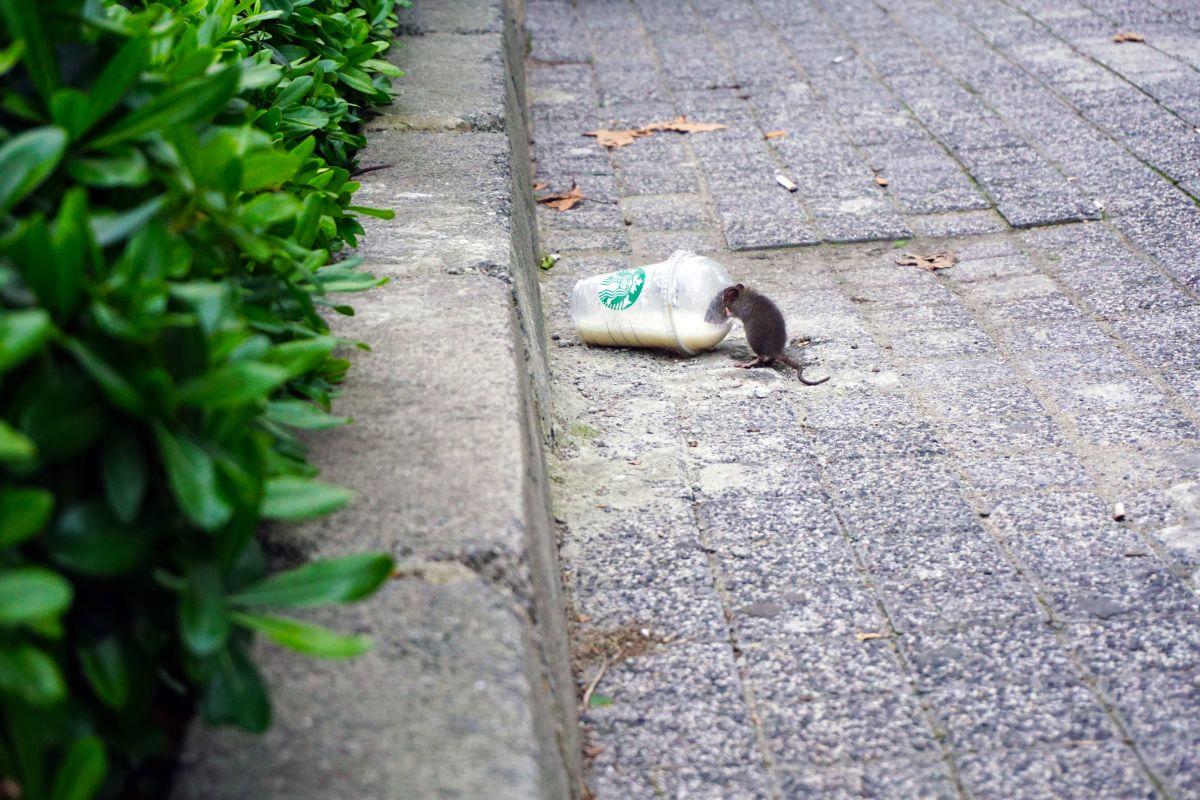 Rotte som drikker af et kaffebære på jorden