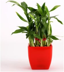 Ferns n Petals 2 Layer Bamboo Plant In Red Melamine Pot - Mothers Day Gift