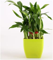 Ferns N Petals 2 Layer Bamboo Plant In Pot - Mothers Day Gift
