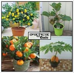 Lemon/Orange/Papaya/Kiwi Bonsai Seeds Combo 20 Pcs Packet