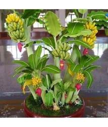 M-Tech Gardens Indoor Dwarf Mini Banana Fruit Seed for Growing 25 Seeds/Bag