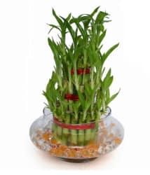 Green Plant Indoor 3 Layer Lucky Bonsai Bamboo Plant/ Bonsai Tree/ Bamboo Tree
