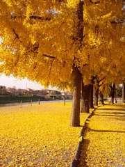 Viale alberato con fiori di Ginko