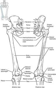Anatomia dell'anca