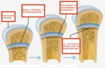 cartilagine-coniugazione-crescita-bambino