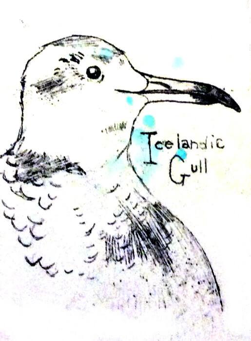 Icelandic Gull