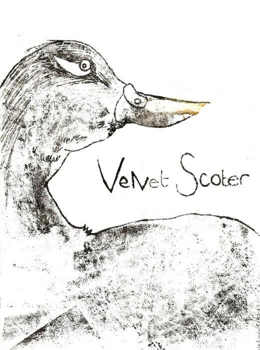 Velvet Scoter