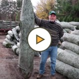 Christmas Trees are arriving at Decker's Nursery