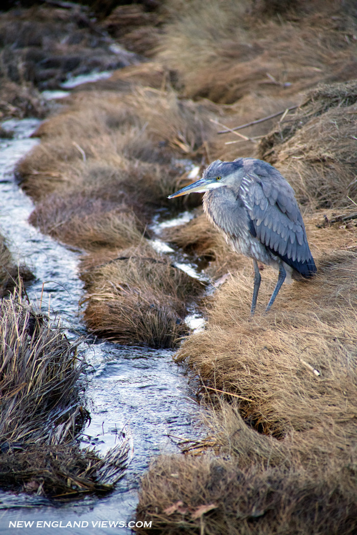 Great Blue Heron, Marsh, Cape Ann