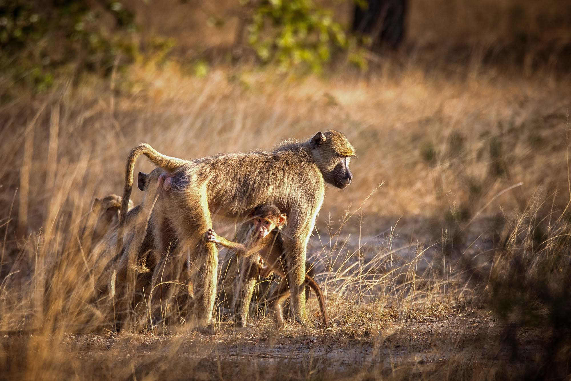 baboon with children msafiri travrels
