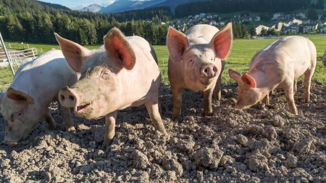 Glücklich ist, wer im Dreck wühlen kann: Schweine in Lenzerheide GR. (shutterstock)