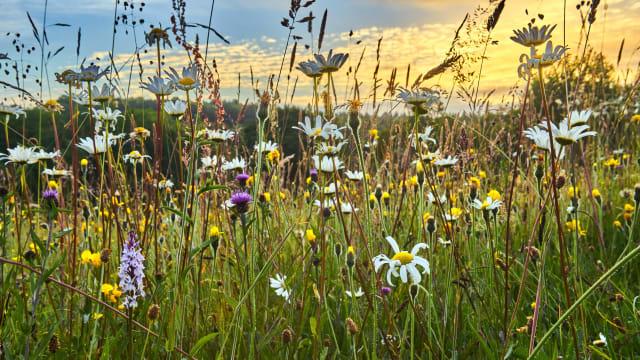 Blumenwiesen als lukratives Business? (Bild: Shutterstock)