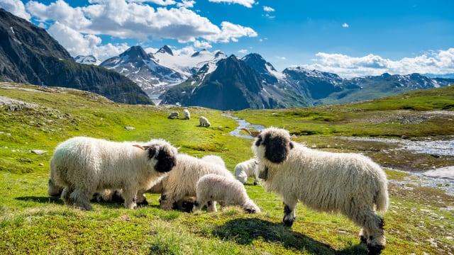 Schafe am Nufenenpass.