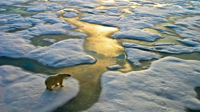Düstere Aussichten? Eisbär bei der Betrachtung seiner Eisscholle.