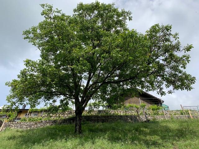 Das ist der Nussbaum im Garten unserer Grosi-Kolumnistin.
