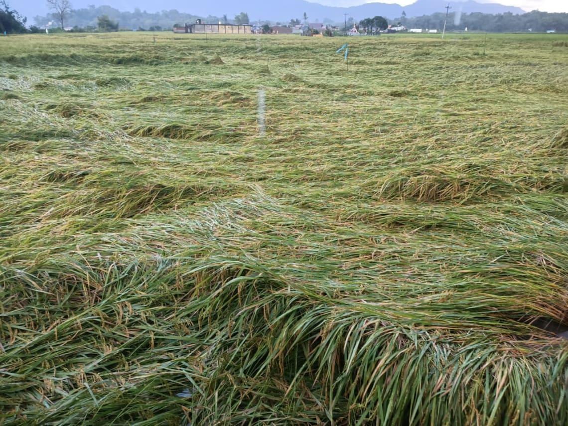 Ratusan hektar sawah rebah tertiup angin