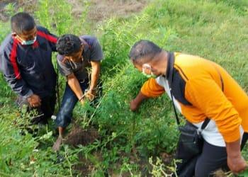 Tersangka MBRD ditemani polisi saat mencabut tanaman ganja. Foto Istimewa