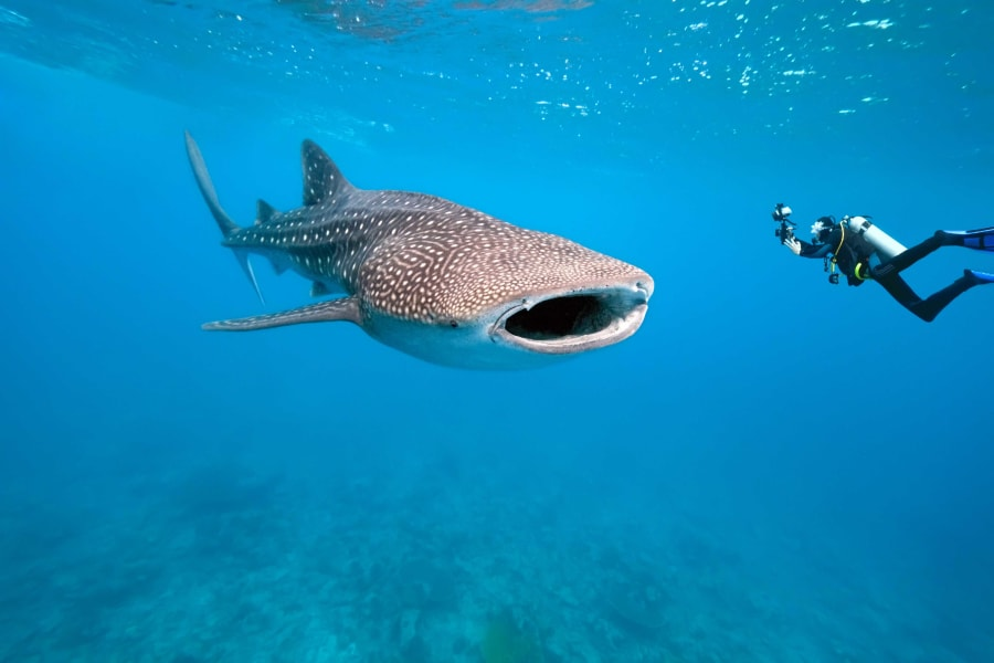 Whale Shark in Similan Islands