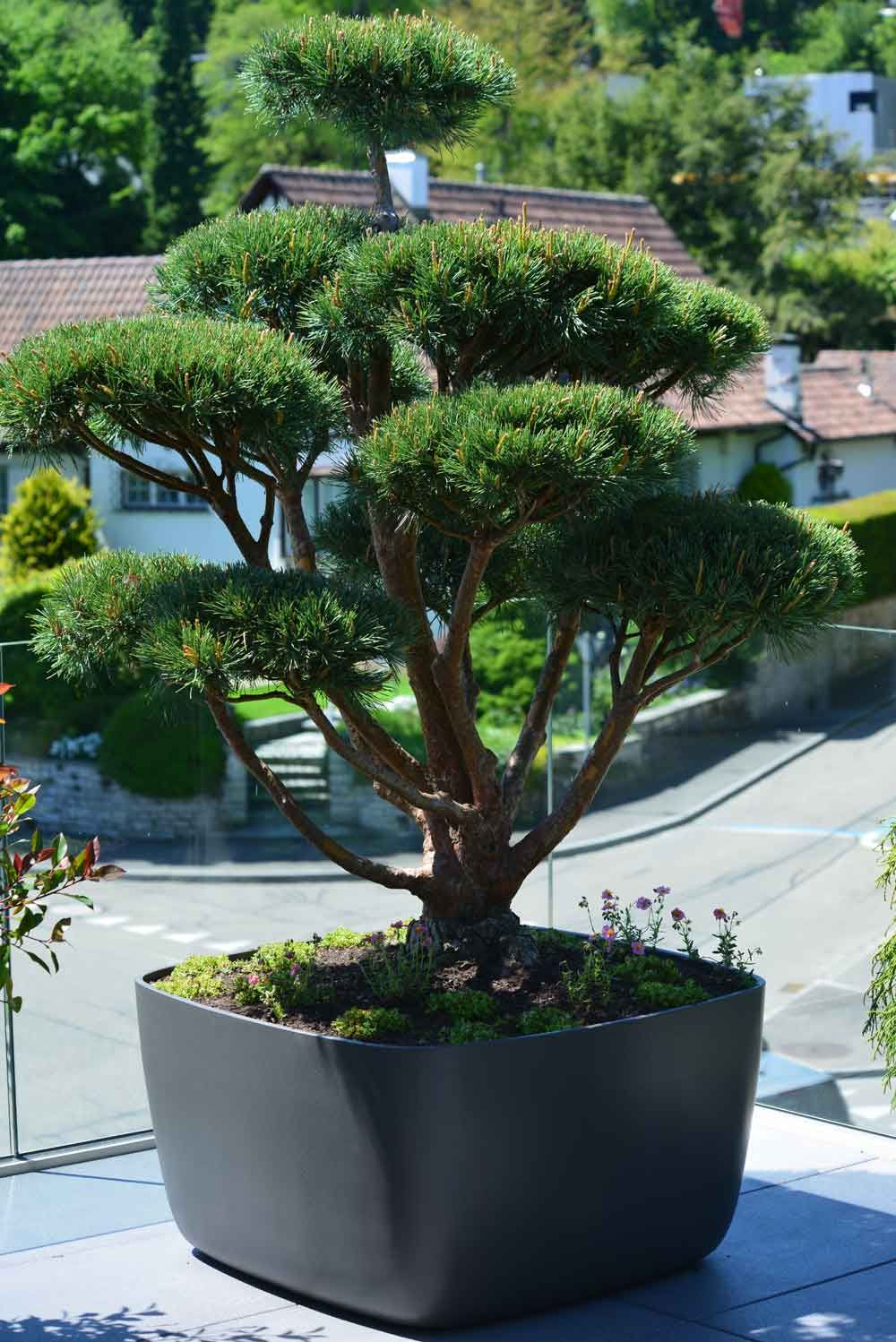 terrassen bonsai