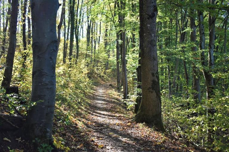 Beispiel eines Mischbuchenwaldes, Bad Niedernau, Süddeutschland