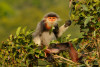 Counting langurs in the forests