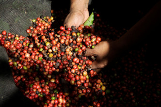 Latin America's premium coffee growers branch out to cheaper robusta beans