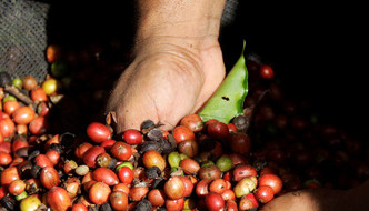 Latin America​'s premium coffee growers branch out to cheaper robusta beans