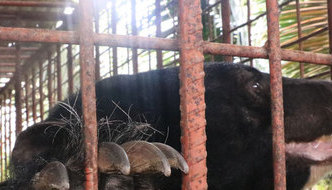 Five moon bears rescued from Vietnam farm after 20 years of captivity