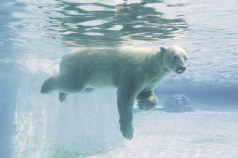 Singapore Zoo's 27-year-old polar bear Inuka may be put down