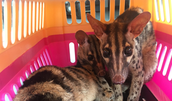 Two rare palm civets saved from illegal online trade