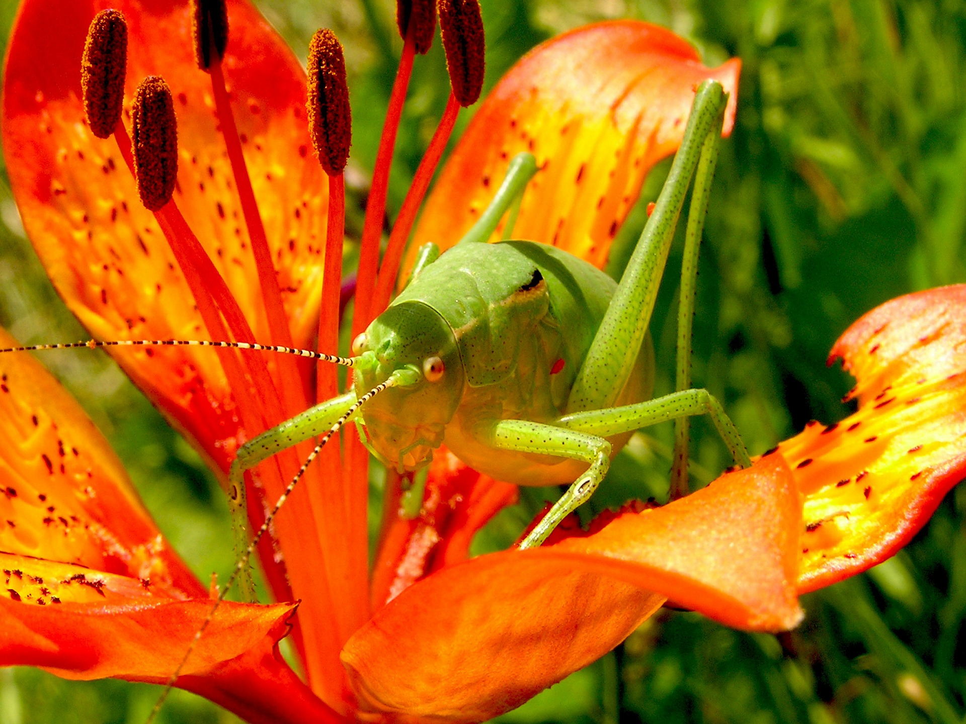 Red flower with green grasshopper