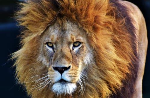 full resolution lion
