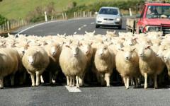 Sheep image delivered in original format