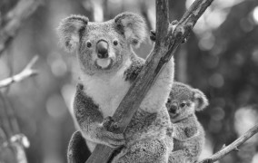 Grayscale koala