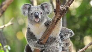 Cropped koala photo with lower JPEG quality